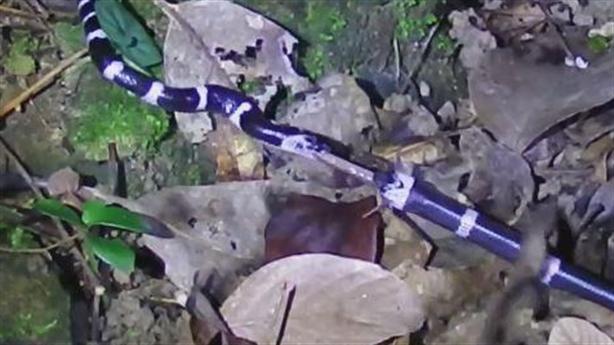 Cạp nia đang ăn bị rắn không có độc cướp