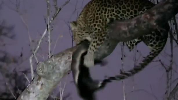 Báo đốm trầy trật không ăn thịt được kẻ bố đời