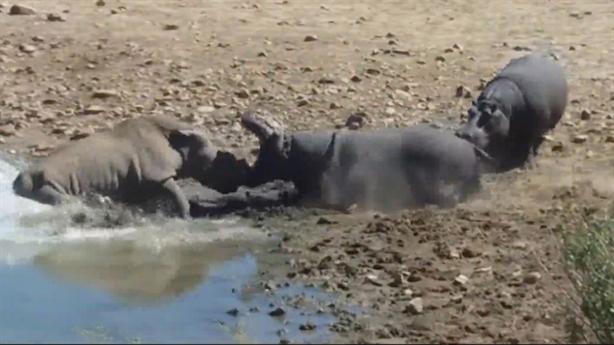 Tê giác mất sừng chết thảm dưới tay hà mã