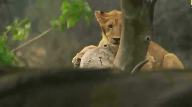 Sư tử run rẩy trên cây khi bị trâu phản đòn