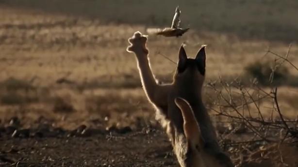 Màn phi thân bắt chim đẹp mắt của linh miêu tai đen