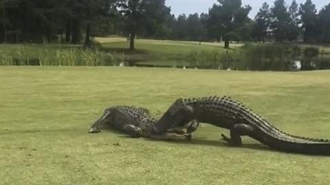 Cá sấu lôi nhau lên bờ kịch chiến giữa sân golf