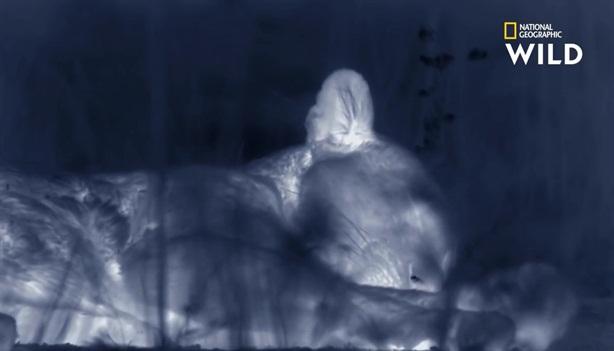 Báo đốm ngủ quên khi đang đi săn mồi