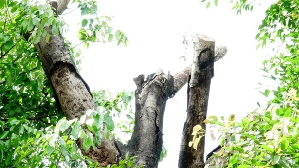 Dàn cây quái thú bỏ bên đường: 'Có dấu hiệu khô chết'