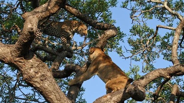 Leo cây cướp mồi báo đốm, sư tử nhận kết bẽ bàng