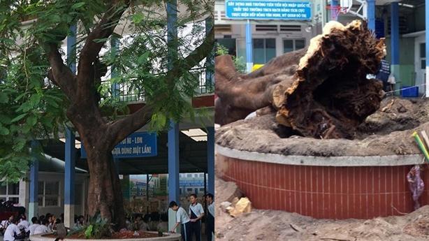 Chặt cây xanh sau sự cố bật gốc: Không đốn bừa được...