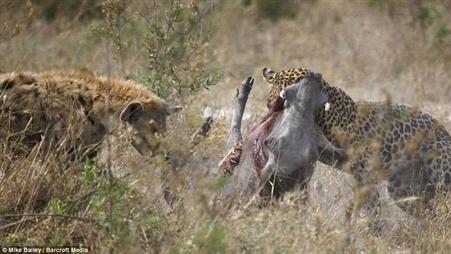 Linh cẩu chen ngang, lợn rừng mang thai thoát hàm báo đốm