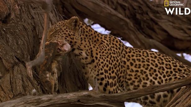 Báo đốm phi thân lên cây cao 10m bắt chim