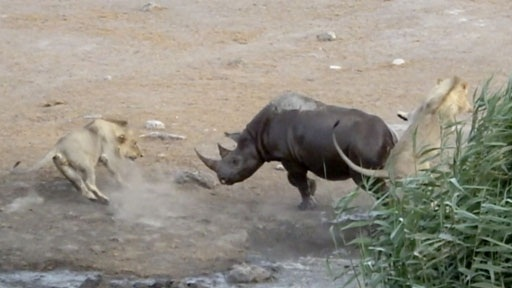 Tê giác mang thai chiến bầy sư tử: Lật ngược thế trận