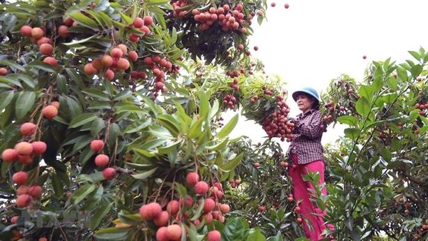 Quả vải sang thẳng Singapore: Cái tài doanh nghiệp Việt