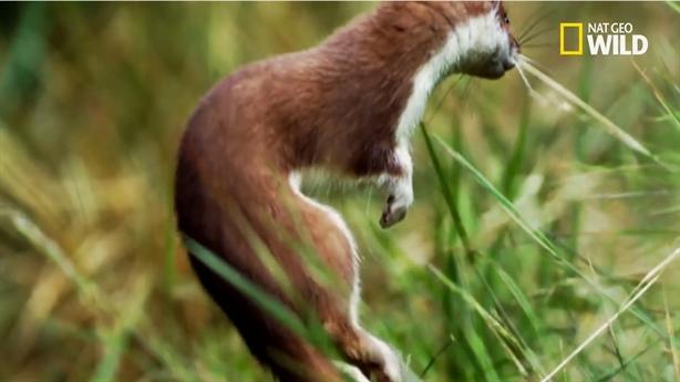 Thỏ mất mạng vì mải xem vũ điệu chết chóc của chồn