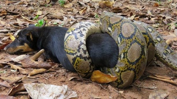 Mò vào làng bắt chó, trăn khổng lồ Anaconda nhận kết đắng