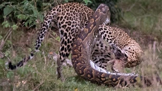 Báo đốm tử chiến trăn khổng lồ: Lật ngược tình thế