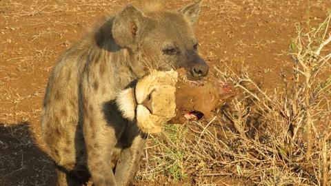Linh cẩu tha đầu sư tử làm mồi: Hé lộ sự thật