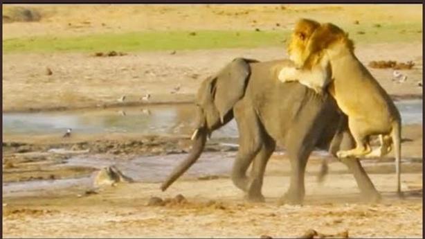 Sư tử nhanh chóng đoạt mạng voi đơn độc