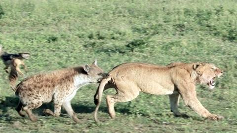 Linh cẩu chơi đòn hiểm, sư tử đau đớn mất tiệc tùng