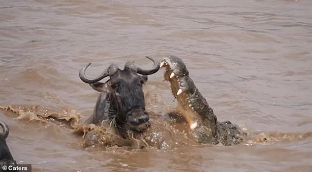 Linh dương đầu bò thoát hàm cá sấu thần kỳ