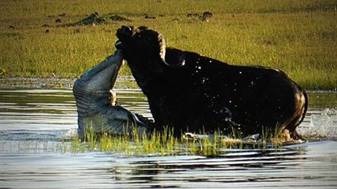 Trâu già tử chiến cá sấu khổng lồ: Kết bất ngờ