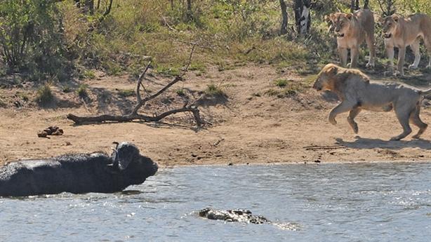 Trâu rừng một mình chiến cả cá sấu lẫn bầy sư tử
