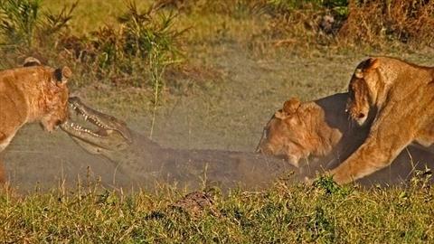 Cá sấu lên bờ bị đàn sư tử xé xác