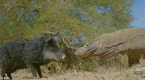 Lợn giả đối mặt rồng Komodo: Kết tan xác