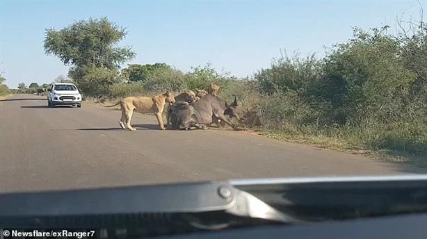 Bầy sư tử hợp sức xé xác trâu ngay trước ô tô