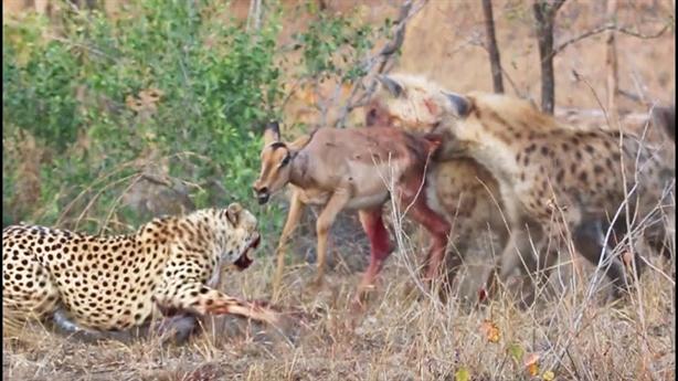 Đôi báo đốm hèn nhát dâng mồi ngon cho linh cẩu