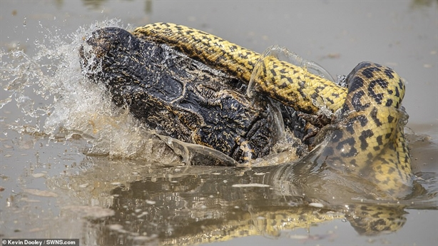 Trăn Anaconda và cá sấu tử chiến giữa đầm lầy