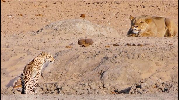 Sư tử chơi lớn săn báo đốm: Kết ngỡ ngàng