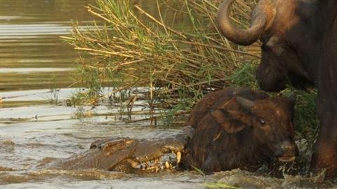 Trâu mẹ bất lực nhìn cá sấu khổng lồ giết con