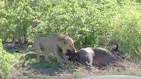 Kinh hoàng sư tử kéo trâu con từ trong bụng mẹ