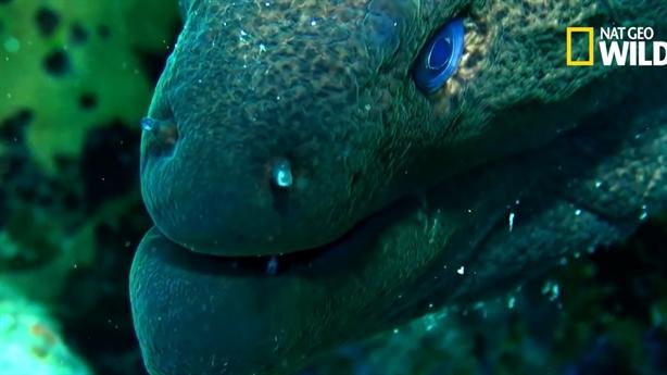 Màn thoát thân từ bụng cá chình Moray của cá mập