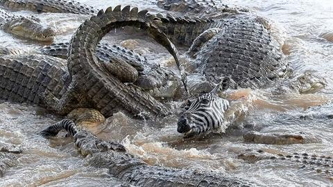 Ngựa vằn lọt giữa 40 con cá sấu: Cái kết khảm khốc