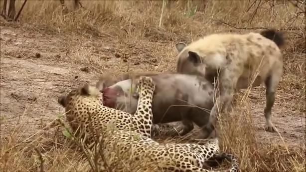 Báo đốm vất vả giữ mồi cho linh cẩu chén thịt