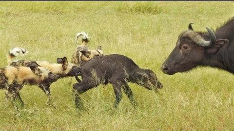Chó hoang tinh ranh giết trâu con trước mặt trâu mẹ