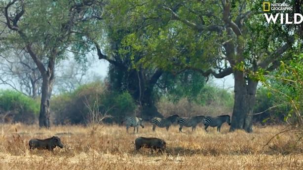 Sư tử chưng hửng vì bị lợn bướu cho hít bụi