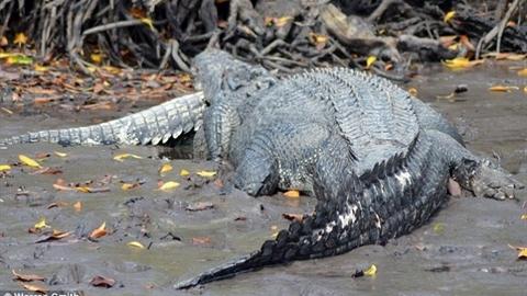 Cá sấu lớn bị cá sấu khổng lồ ăn thịt