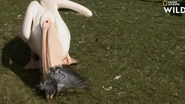 Kinh ngạc bồ nông nuốt sống bồ câu trước mặt du khách