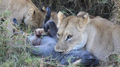 Số đen, lợn rừng bỏ mạng bởi gia đình sư tử