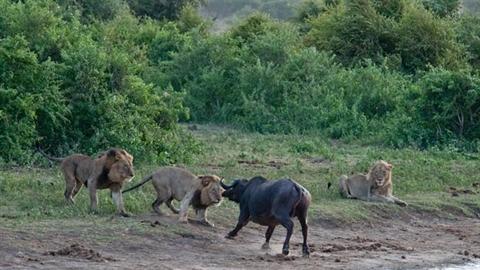 Trâu rừng đường cùng tấn công bầy sư tử: Kết buồn