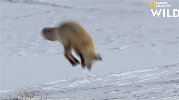 Màn phi thân xuyên lớp tuyết dày bắt mồi của cáo