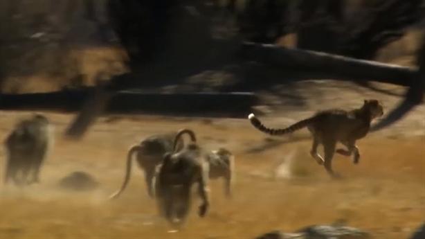 Báo suýt mất mạng vì uống trộm nước của khỉ đầu chó