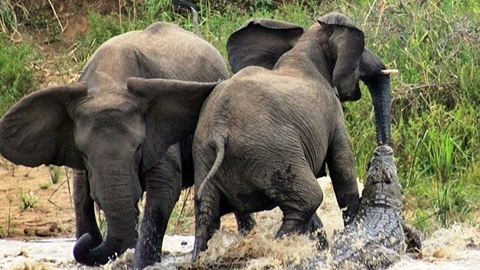 Tính ăn thịt voi, cá sấu nhận kết bẽ bàng