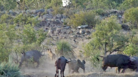 Trâu rừng nổi điên tấn công sư tử cứu voi con