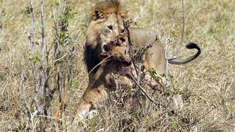 Kinh hãi sư tử xé xác, xơi tái đồng loại nhỏ hơn