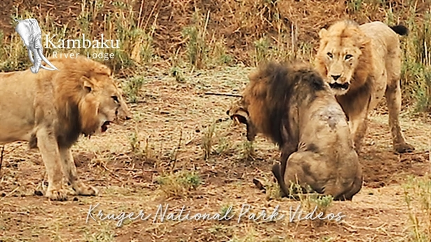 Sư tử già nhận kết bi thảm trong tay đồng loại