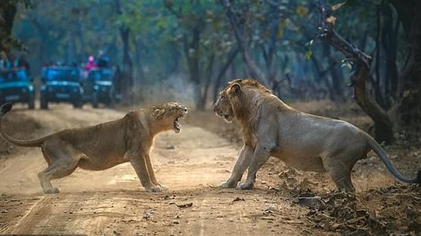 Trước cuộc yêu, sư tử cái vả 'sấp mặt' sư tử đực