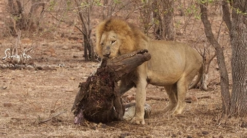 Tính cướp mồi, cá sấu thành bữa ăn của sư tử