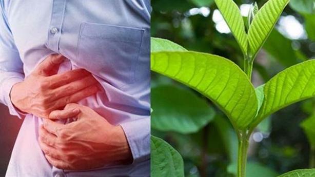 Mẹo chữa viêm đại tràng bằng lá ổi hiệu quả tại nhà