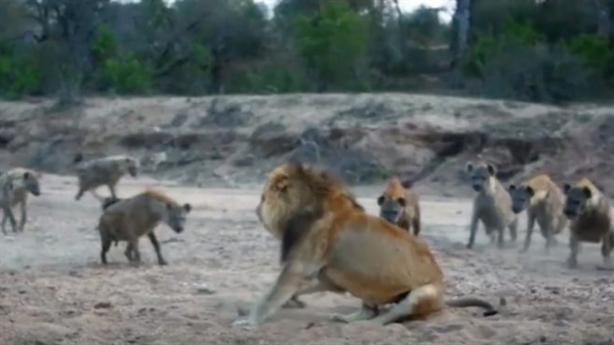 Sư tử già bị đàn linh cẩu bao vây, tính chén thịt